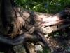 K800__2010_09_09_896-Eibenwurzel
